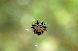 Spiney Orbweaver Spider