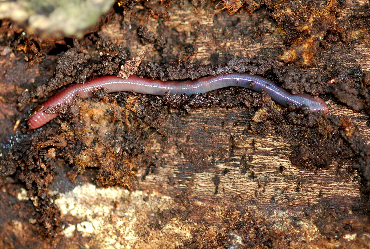 File Earthworm Wikipedia