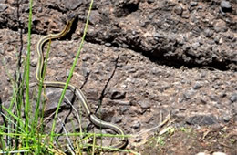 Thamnophis sirtalis fitchi - Valley Garter Snake