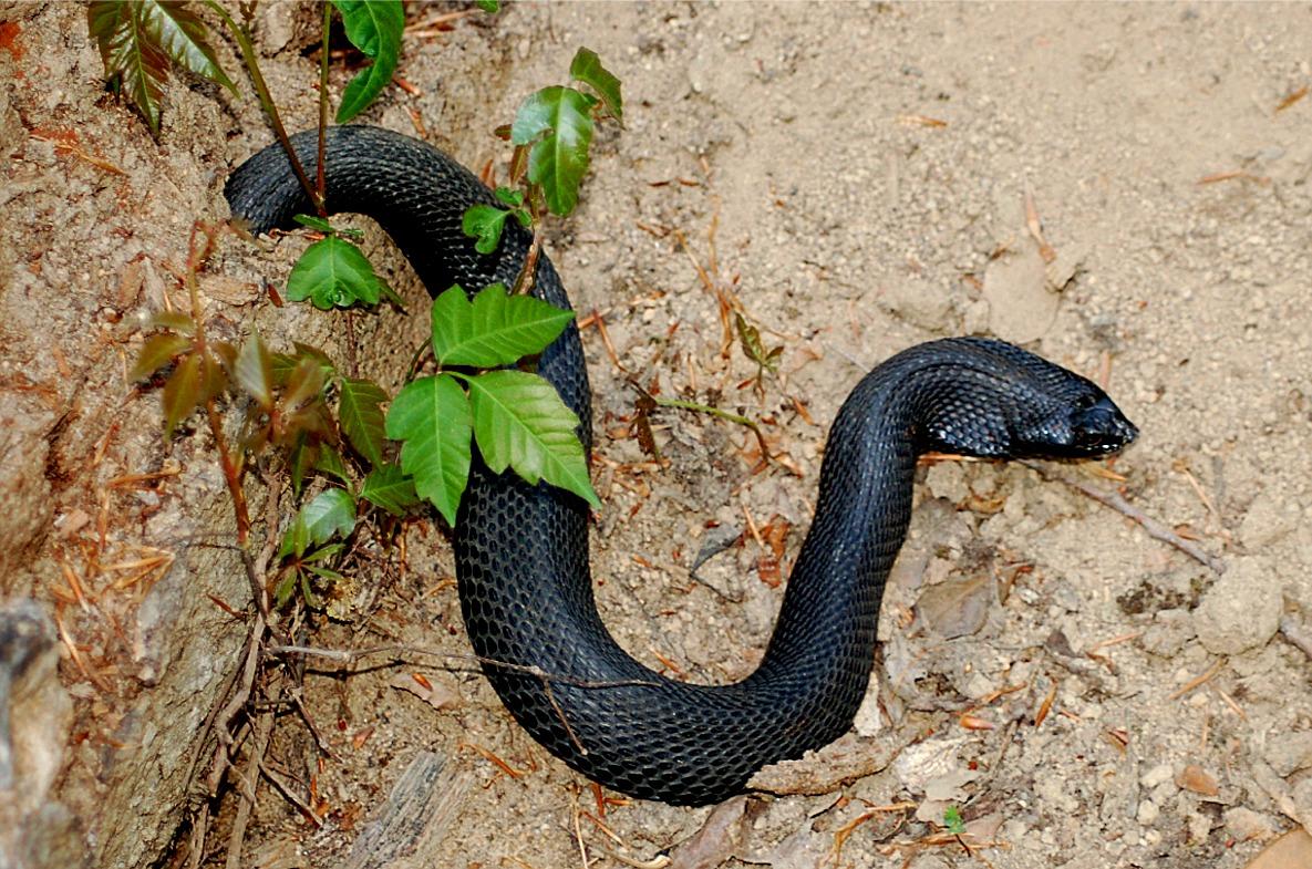 Black Hognose Snake, Hognose Snakes, Snake Names, Snakes Facts
