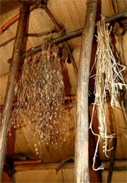 plants drying in a native american longhouse