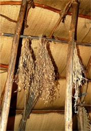plants drying in native american longhouse