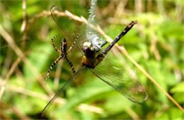 Argiope Spider with Prey