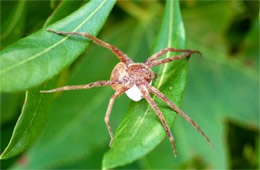 Spider with Egg Case