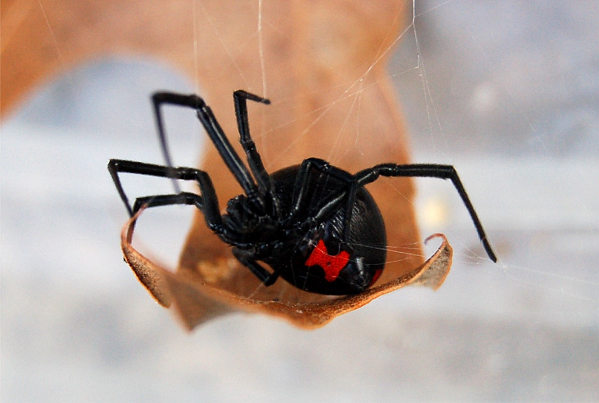 the black widow spider Black widow spider control information: appearance, diet, habits & where they  live orkin professionals can help get rid of black widow spider infestations.