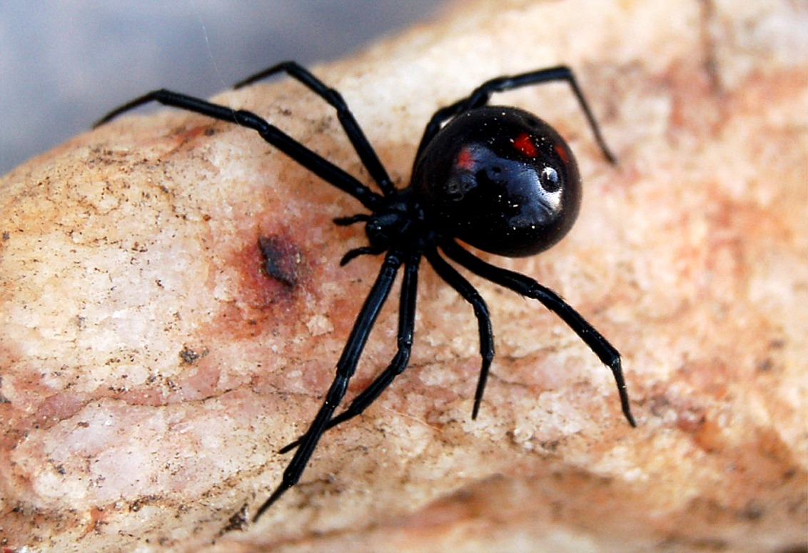 black widow spiders This spider's bite is much feared because its venom is reported to be 15 times  stronger than a rattlesnake's in humans, bites produce muscle aches, nausea,.