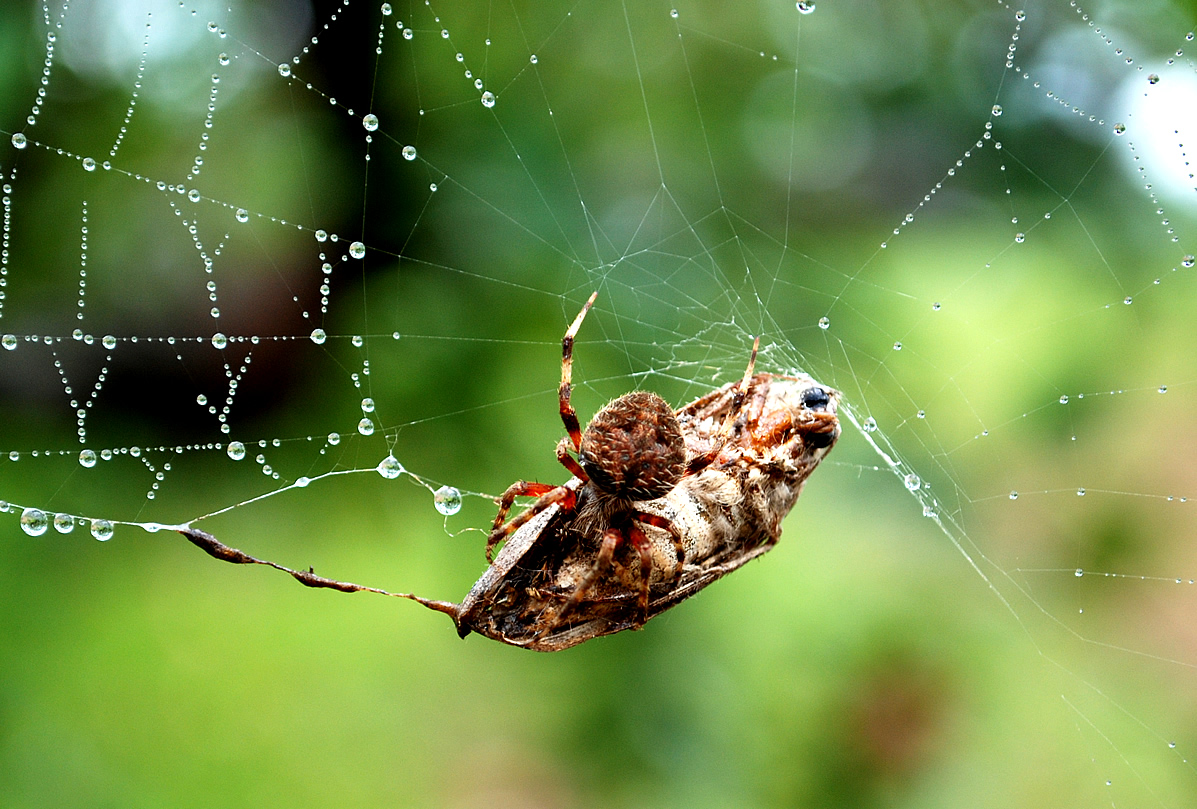 Spider in web with prey - photo#7