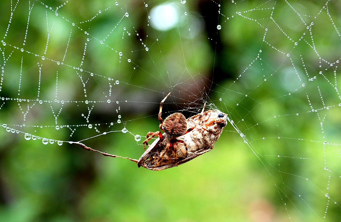 Spider in web with prey - photo#3