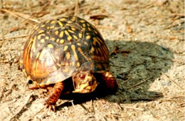 Terrapene carolina - Eastern Box Turtle
