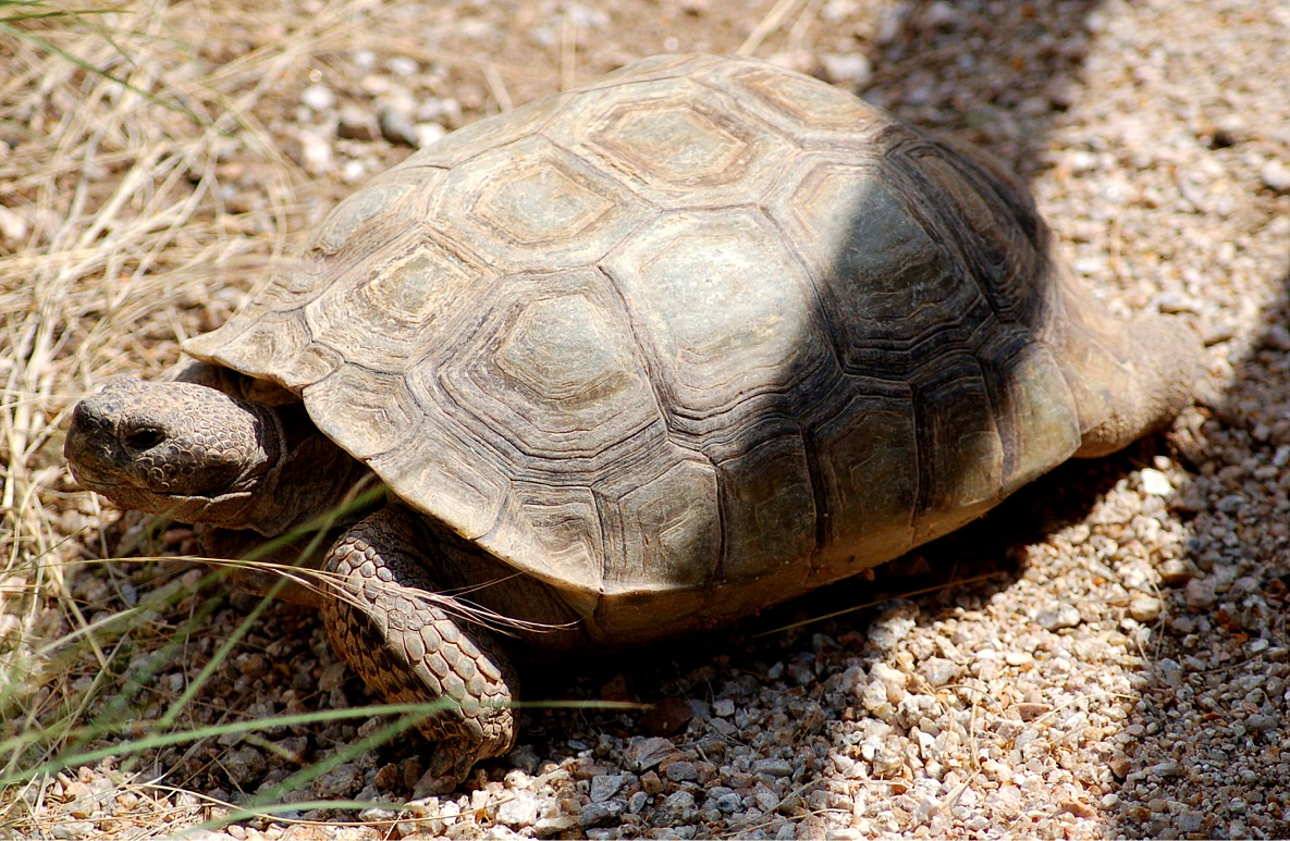 The gallery for --> Baby Sonoran Desert Tortoise