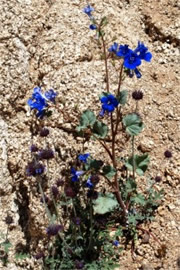 Salvia columbariae and Phacelia campanularia - Chia and Desert Bluebell
