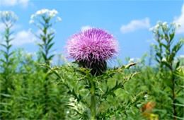 Cirsium discolor - Field Thistle