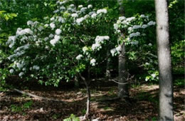 Kalmia latifolia - Mountain Laurel